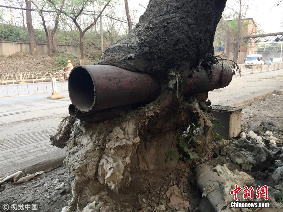 武汉有棵树干插钢管还茁壮生长