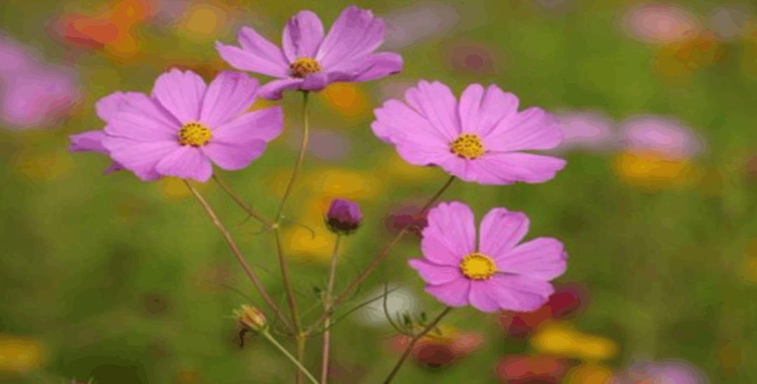 同安数十亩波斯菊、硫磺菊等竞相绽放