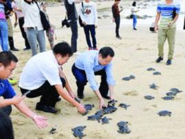 报告!99只海龟从惠东港口海龟湾沙滩游进大海!