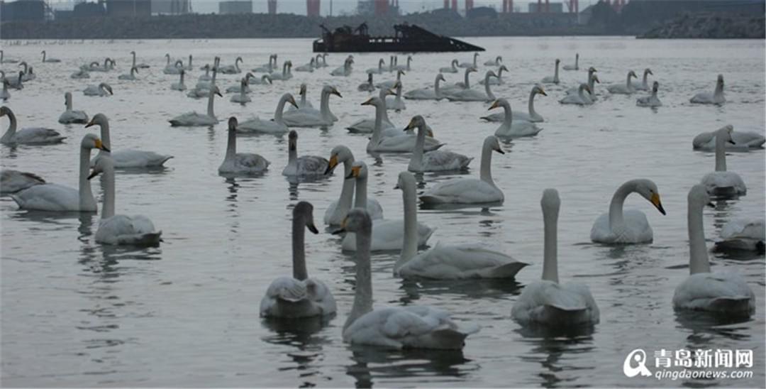 实拍烟墩角天鹅湖 看天鹅起舞听潮起潮落