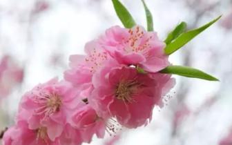 重庆赏花时间表出炉 让你惊艳一整年