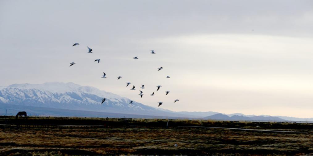春来到 巴里坤县高家湖湿地成鸟的天堂