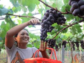 游客在宁陵县城郊乡采摘有机葡萄