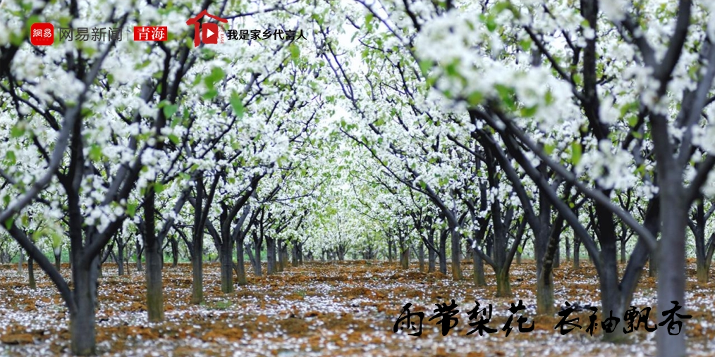 雨带梨花 衣袖飘香——第十三届贵德梨花节