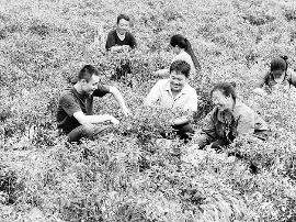 大宁县赤焰椒试验田 为农民脱贫致富找到好门路