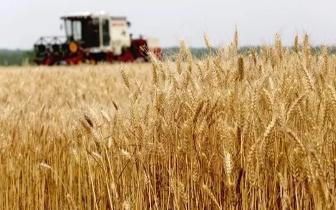"""注意""""小麦最低收购价""""确定 别便宜卖"""