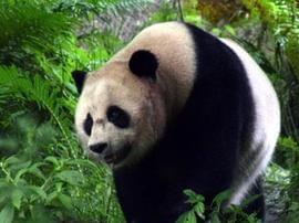 """全球首只野外引种熊猫""""草草""""产下宝宝"""
