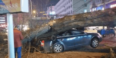 吉林市巨大枯树当街倒塌 一车当场被砸扁