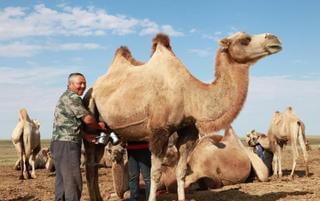 给骆驼挤奶什么滋味