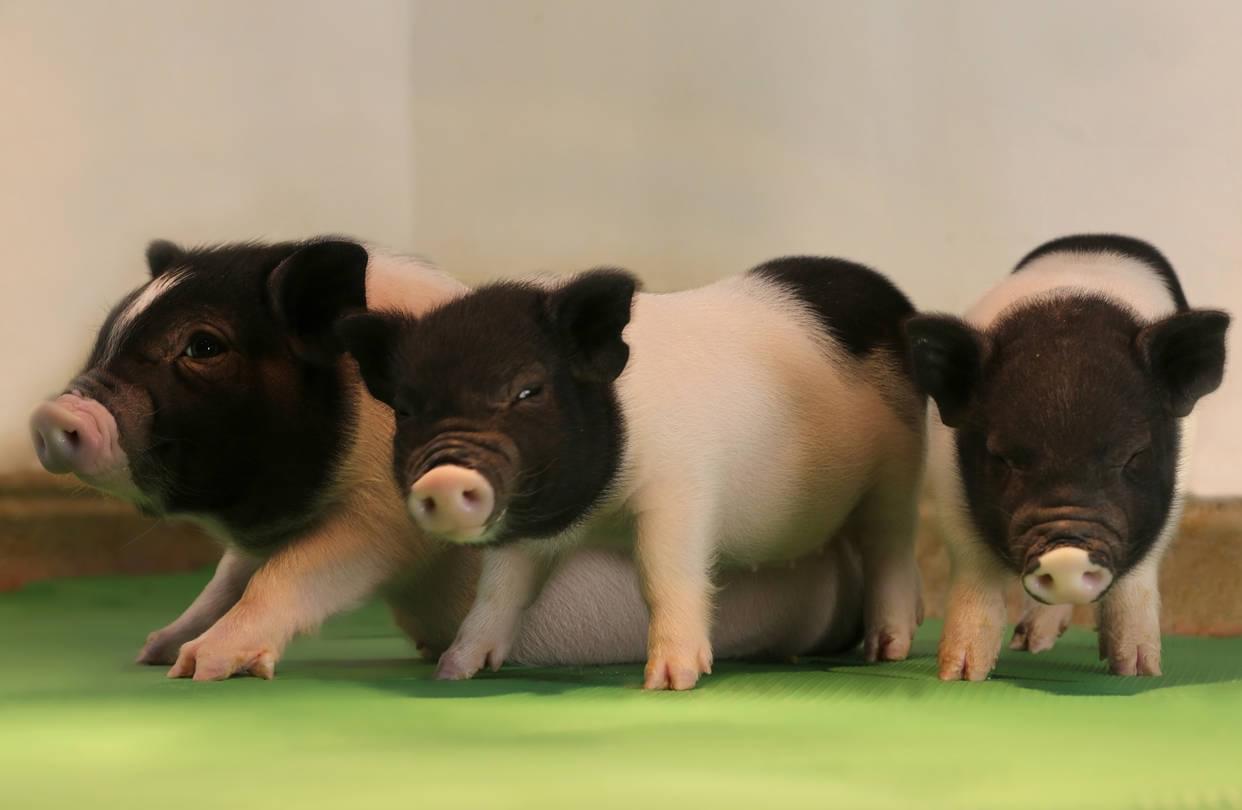 猪器移植到人身上希望更大了 但还得确保不会排斥