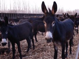 陕州区菜园乡:万头黑毛驴养殖基地开工建设