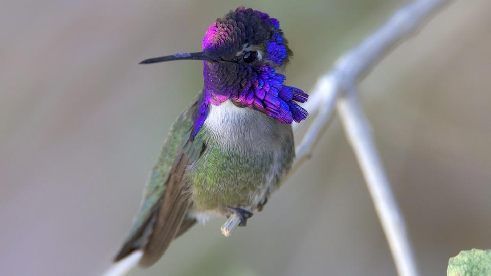 一到交配季节,这种蜂鸟就会用尾羽唱歌求偶