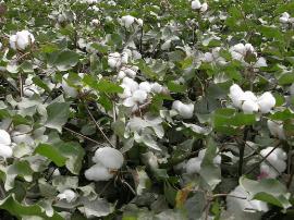 运城市植保站:及时查治棉花病虫害