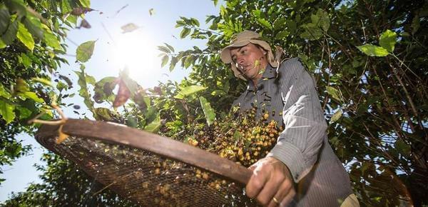 咖啡豆诞生记:图揭百年咖啡庄园的工艺传承