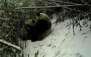 相机记录大熊猫哺乳瞬间