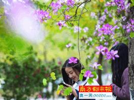 花城宫粉紫荆初绽放 3月中旬或是最佳赏花期