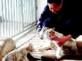 白虎宝宝扎堆出生 太原动物园办起白虎幼儿园