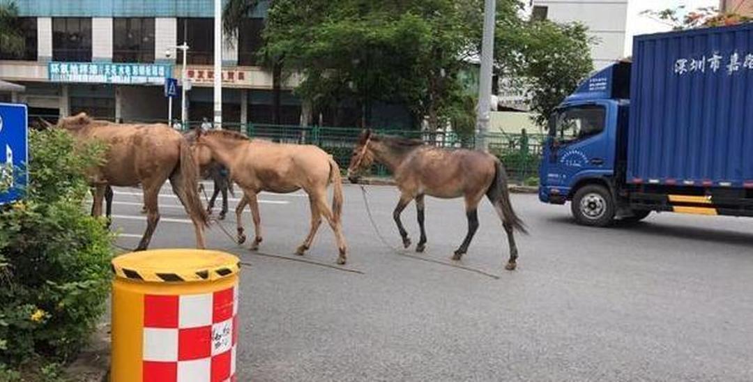 光明街头突现群马 警察蜀黍秒变牧马人