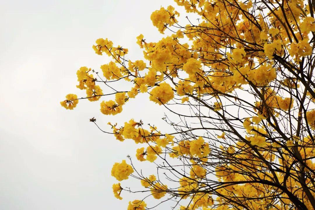 开平已抵颜值巅峰!花都开好了 请收好这份春游指南