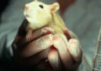 科学家将人脑类器官植入鼠脑内,为脑科学带来革