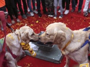狗狗情侣举行婚礼 小小场面甜蜜温馨