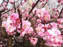 青岛梅花节将于3月16日开幕 附梅园游览攻略