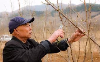 唐山地区有2万株榛子苗亟待出售 可以打电话