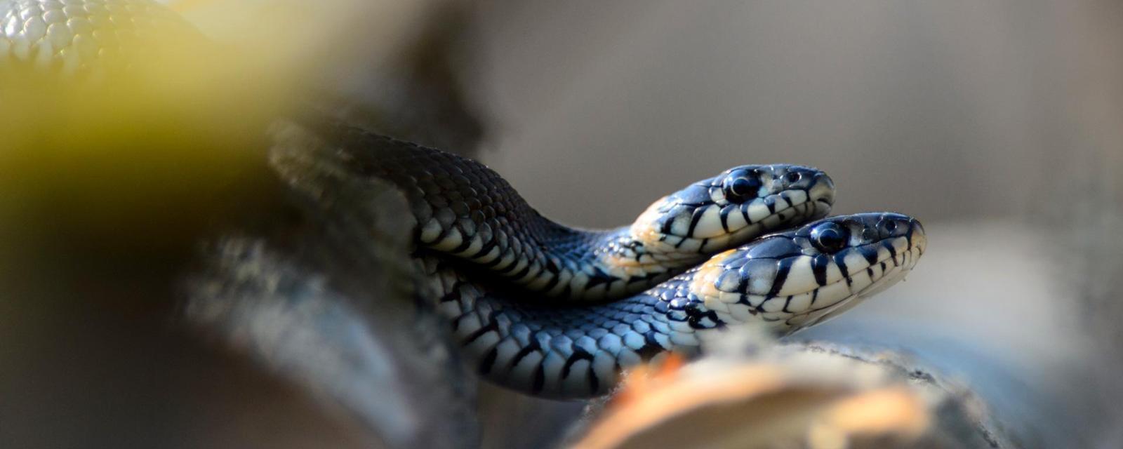 蛇的性爱观太惊讶:一群雄蛇为抢一条雌蛇挤成团