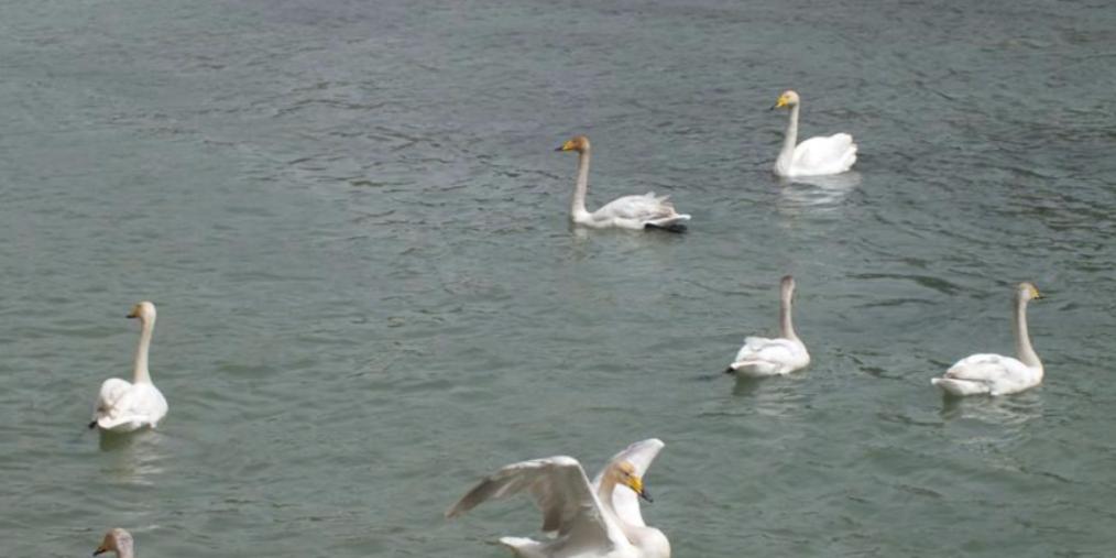 天鹅一年四季自由往来库尔勒孔雀河 惬意栖息