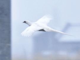 新疆鸟友拍摄到罕见白色环颈雉
