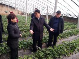 河津市委书记鞠振调研柴家乡农业生产工作