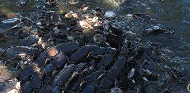 印度河流鲶鱼扎堆冒头 密密麻麻一片