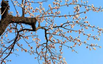 武安:200多亩杏树林百花齐放