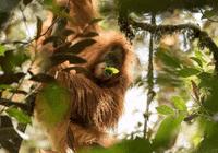 科学家发现第三种猩猩:被藏在苏门答腊岛的森林