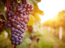 健康小常识 夏末秋初吃葡萄好处多