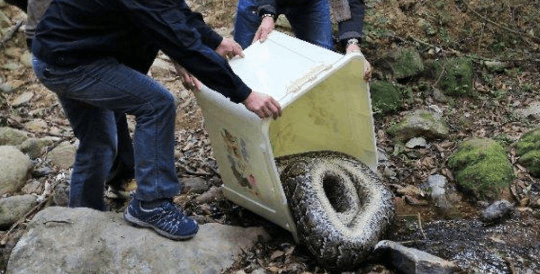 """蛇口80斤大蟒蛇""""搬家""""了!此前距居民区不足20米"""