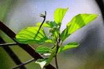 新基因技术可提高作物光合作用效率