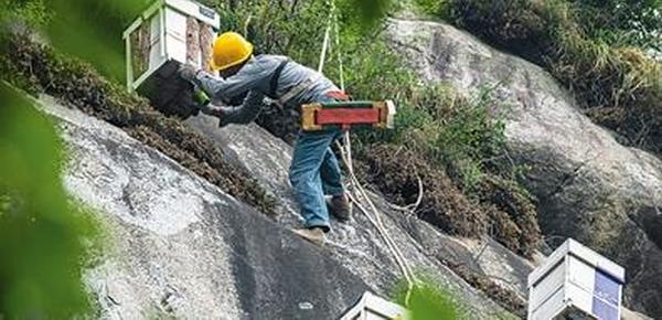揭秘养蜂人:在150米悬崖上养蜂