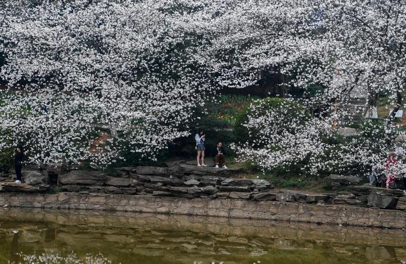 湖南省植物园樱花盛开吸引游人