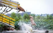男子建跳台训练肉食猪跳水