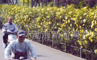 街头蔷薇映日开 任性伸展变成花墙