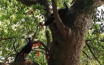 鼓山般若苑散养数十只孔雀 吸引不少游客慕名前往