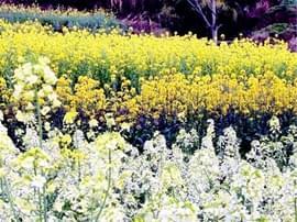 枝江赏花乡村游带动农民增收 多彩油菜花竞相盛放