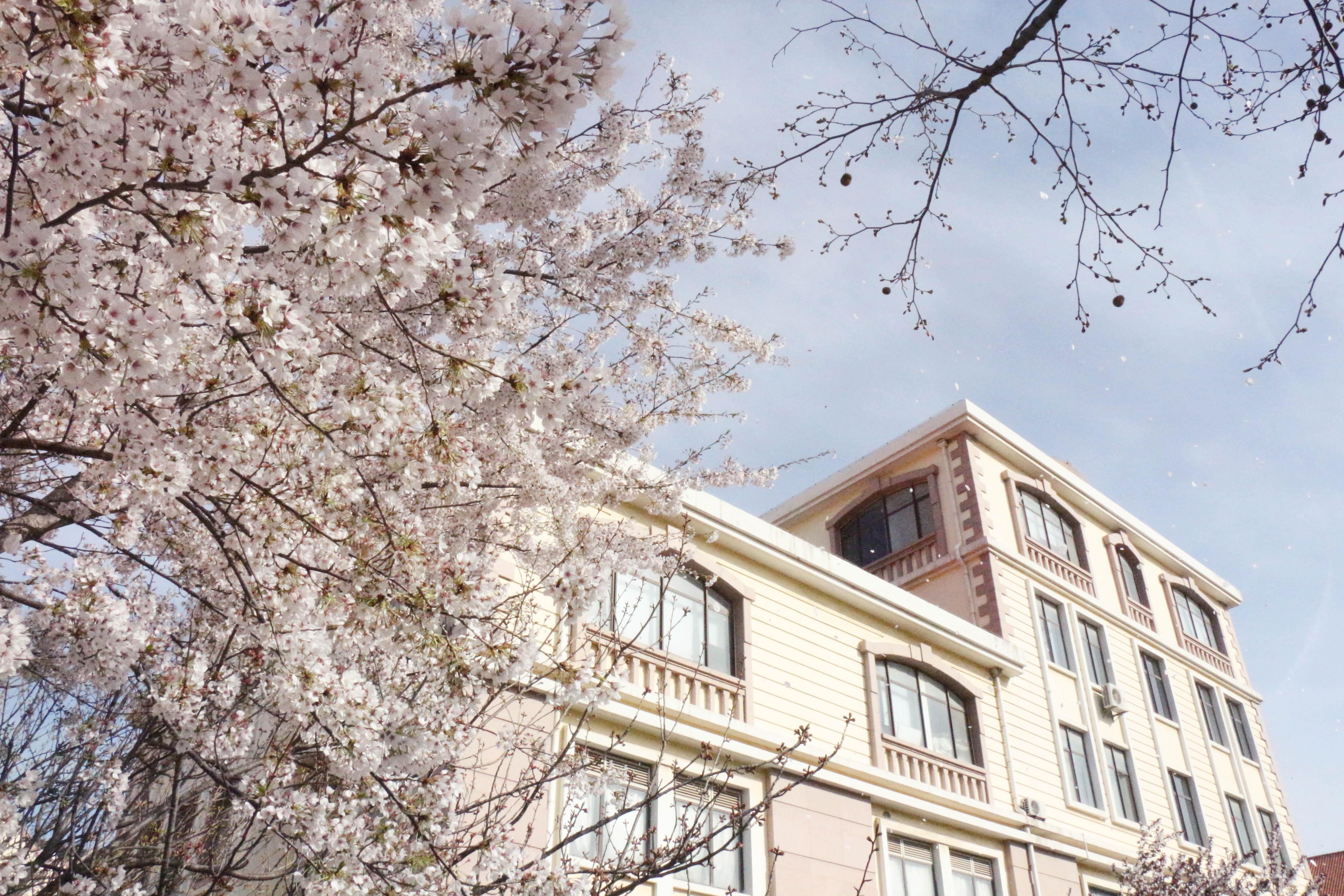 海大浪漫樱花季 最美人间四月天