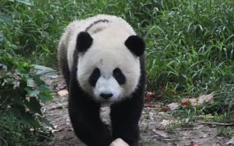 洛杉矶旅游冒险展举办 熊猫形象麻将凉粉受欢迎