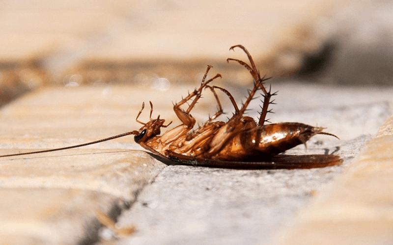 为什么蟑螂死后肚子朝天?被杀虫剂干扰神经系统