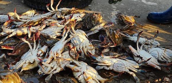 大个母蟹百元一斤!揭秘赚钱的养蟹生