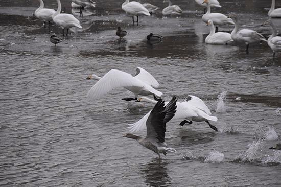 红嘴雁连续两年在库尔勒孔雀河上与天鹅一起越冬