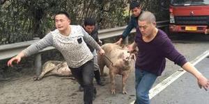 40头猪宁马高速乱窜 造成堵塞达五公里