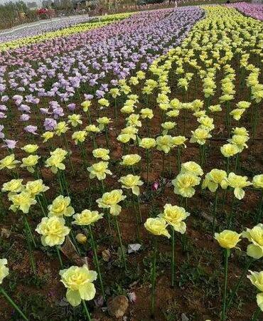 洛阳一景点被曝牡丹鲜花变塑料 回应:为效